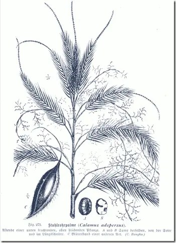 Drawing of Rattan palm plant