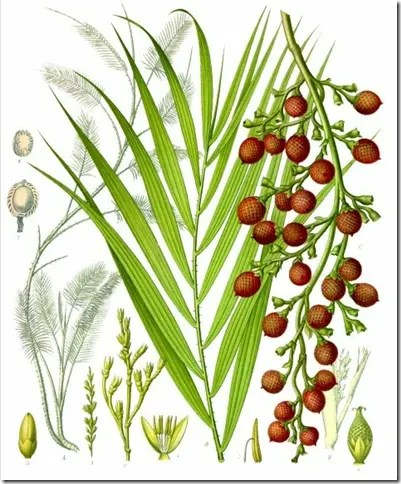 Color illustration of Rattan palm leaves, fruit, stems and other components