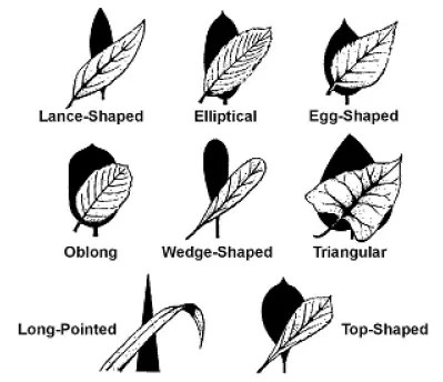 Basic leaf shapes
