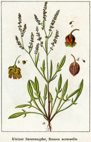 Color drawing of Sheep sorrel illustrating the plant components