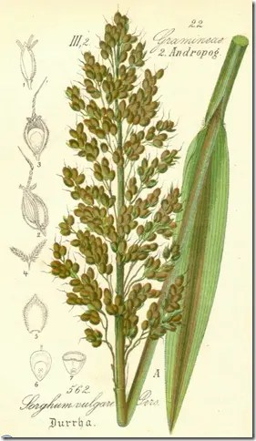 Color drawing of Sorghum plant illustrating plant, grain, and leaf
