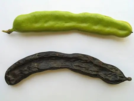 Carob tree seedpod (green and dried out)