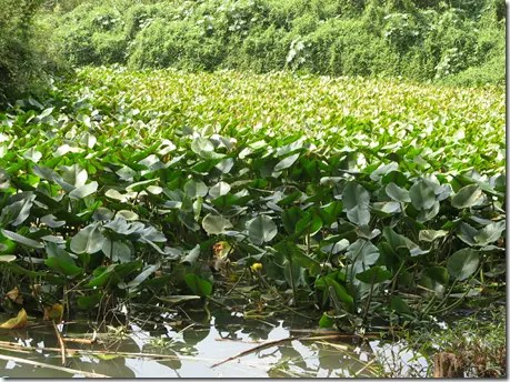 A colony of Spatterdock or Water Lily plants
