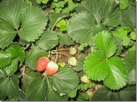 Three-leafed Strawberry plant with unripe and ripening strawberries