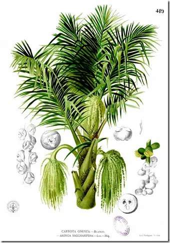 Color drawing of Sugar Palm illustratiing the tree, hanging fruit, and seeds