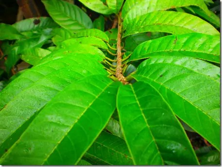 Close up of Sweetsop tree leaves