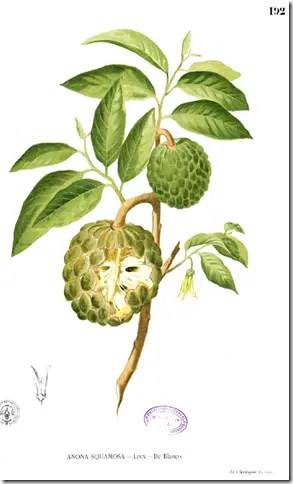 Color drawing of Sweetsop tree illustrating the plant's components