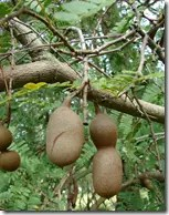 Tamarind fruit hanging from branch