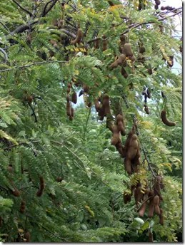 Tamarind fruit on tree