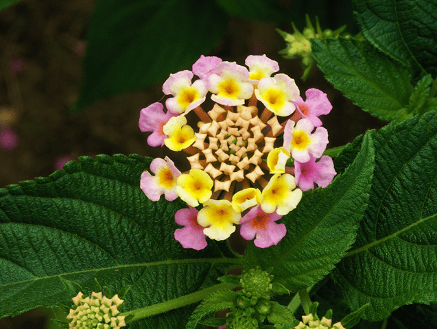 Close-up of Lanata flower cluster
