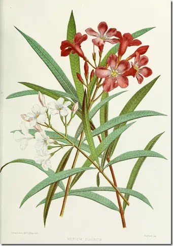 Color drawing of Oleander plant illustrating the plant's flowers and leaf structure