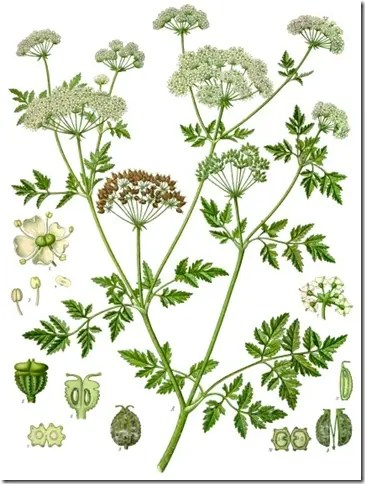 Color plate of Poison Hemlock plant illustrating the various components of the plant's stems, leaves, flowers, and seeds