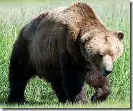Grizzly or Brown Bear in the wilderness