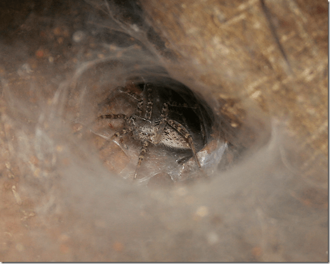 The funnel shaped web opening around the Funnel-web spider's hole