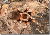 Tarantula spider camouflaged in leaves
