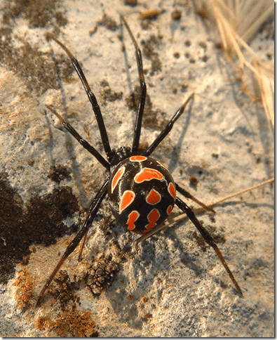 Not all Widow spiders have hourglass markings on their abdomin