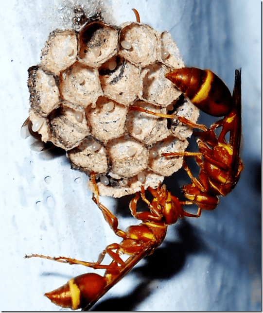 Wasps building a paper nest