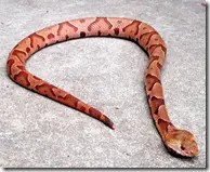 Small Copperhead Snake