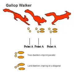 Animal tracking - Gallop Walker pattern