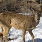 How to identify white-tailed deer tracks and signs.