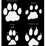 Mountain lion, bobcat, coyote, and dog tracks