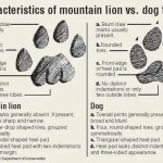 Mountain lion track characteristics vs. dog track