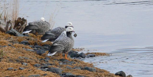 Wintering Emperor Geese at Kodiak Island, Alaska.