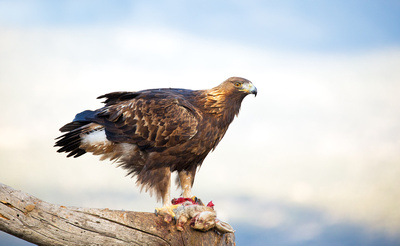 The Wild Side of Life by Chas Moonie: Golden Eagles &emdash; Golden Eagle