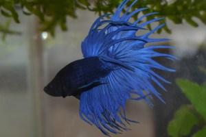 betta bleu