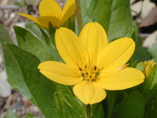 Lindheimer daisy