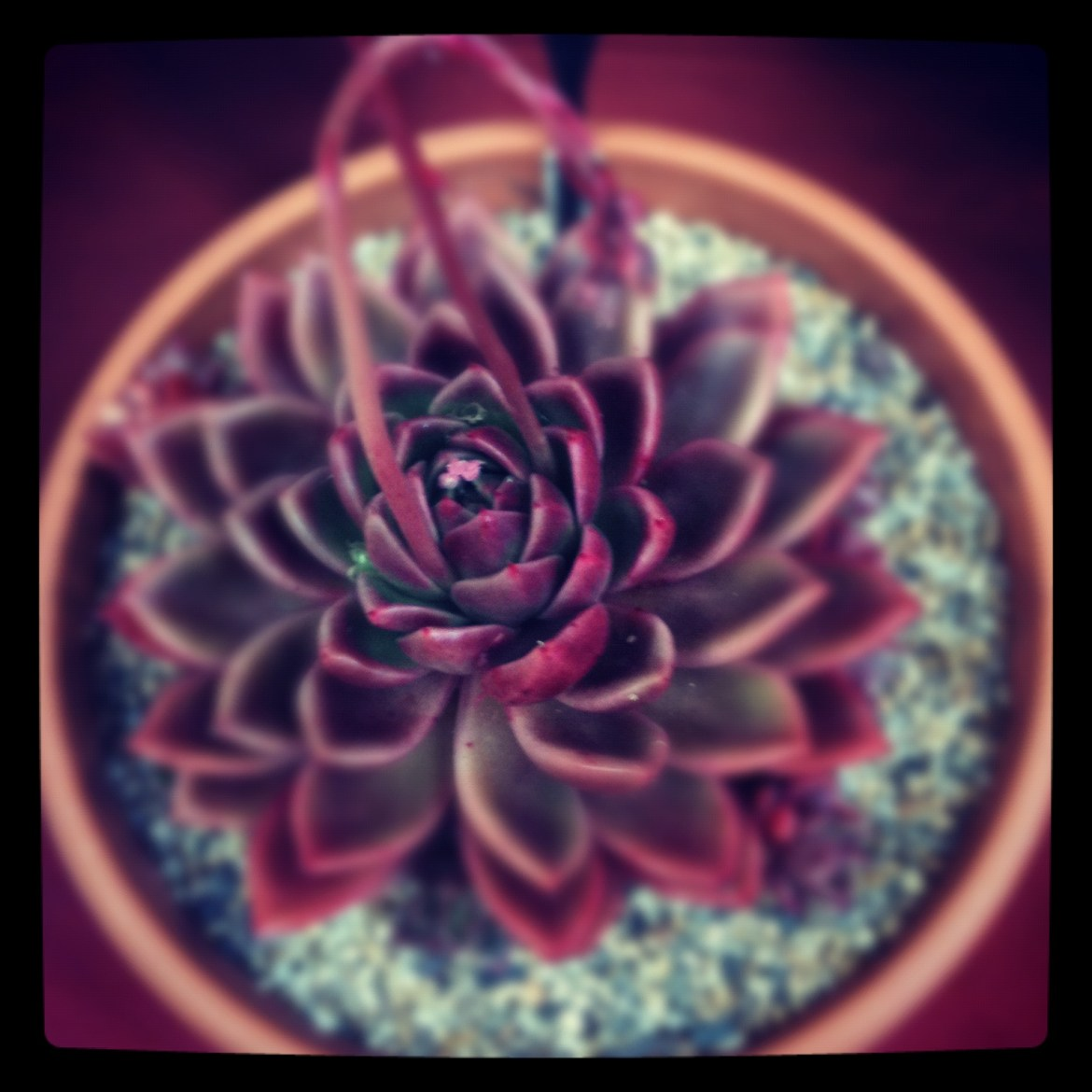 Echeveria gilva red