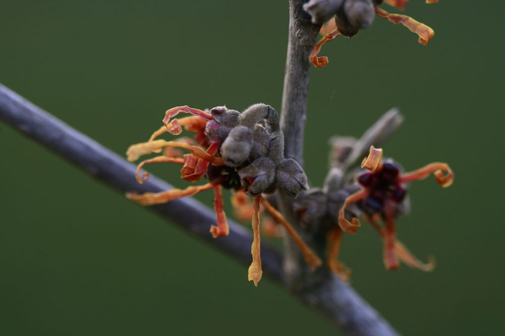 orange witch hazel