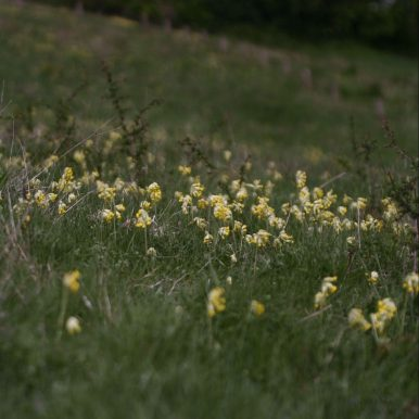 cowslips in the wild