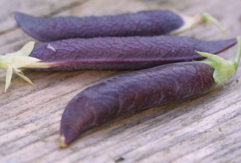 purple pod peas