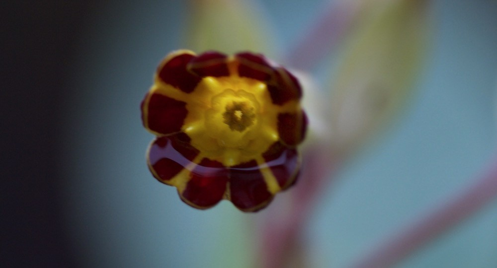 gold-laced polyanthus