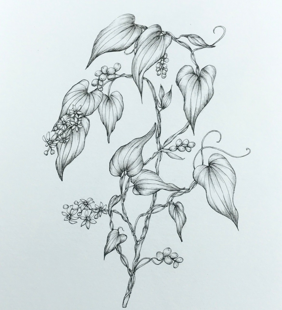 bryony botanical illustration
