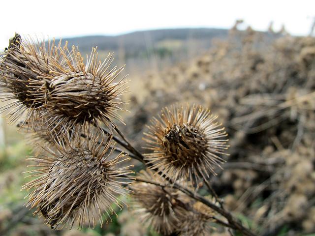 Second Year Burdock Seeds