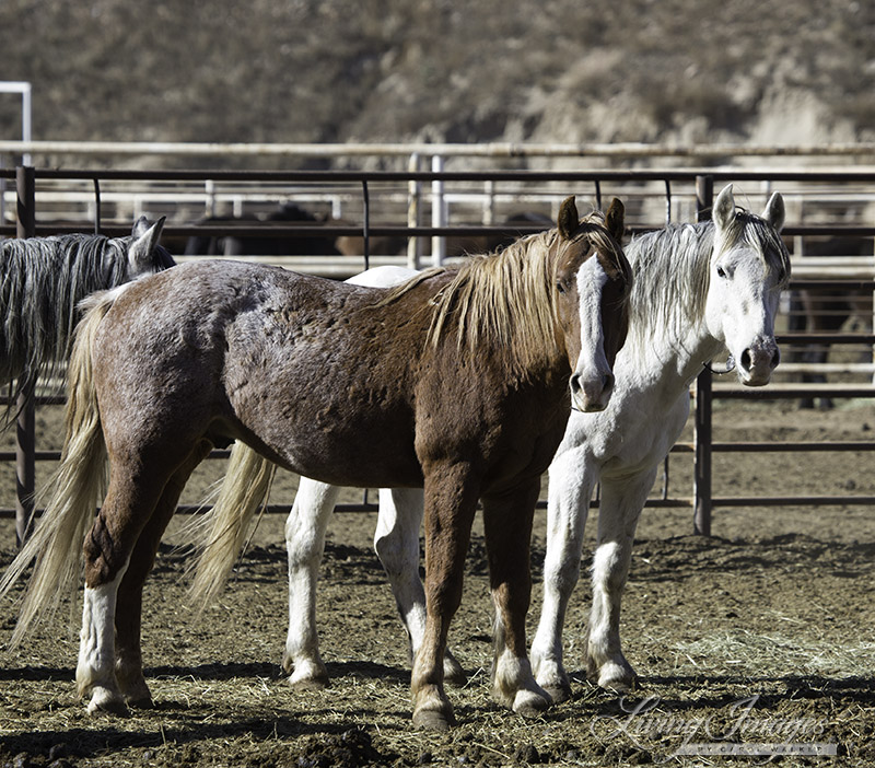 Older wild stallions now at Canon City
