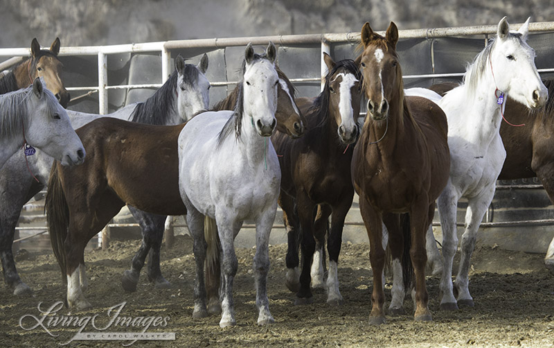 Older mares in Canon City - many have freeze brands - they were treated with birth control but removed anyway