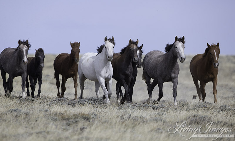Family of wild horses in Adobe Town 1 week before being rounded up and sent to Rock Springs corrrals
