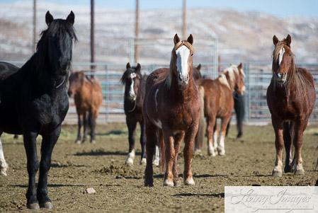 The Geldings - former Stallions