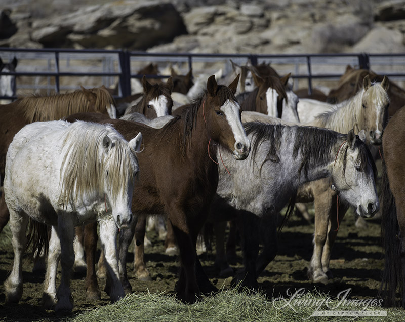 Overcrowded conditions in the mare pens at Rock Springs Corrals