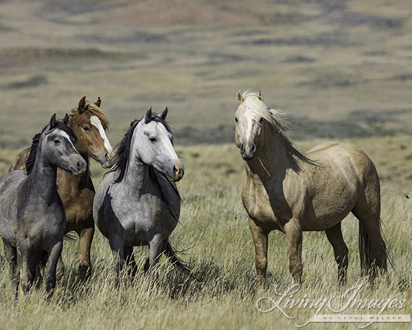 Latest: The BLM to study surgical sterilization of wild horses ...