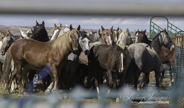 Wild Horses Rounded up at the Checkerboard Roundup in 2014