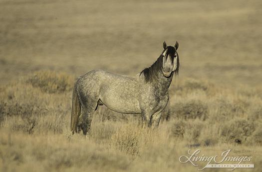 A grey stallion at dawn