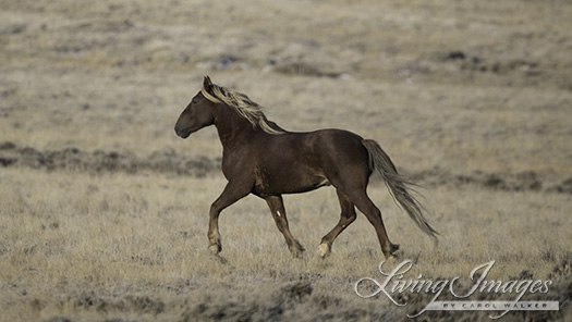 Stallion Running Away