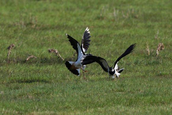 Kiebitze fliegen auf ©H-Glader/piclease