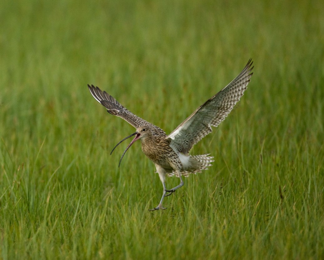 Großer Brachvogel © S. Ott/piclease