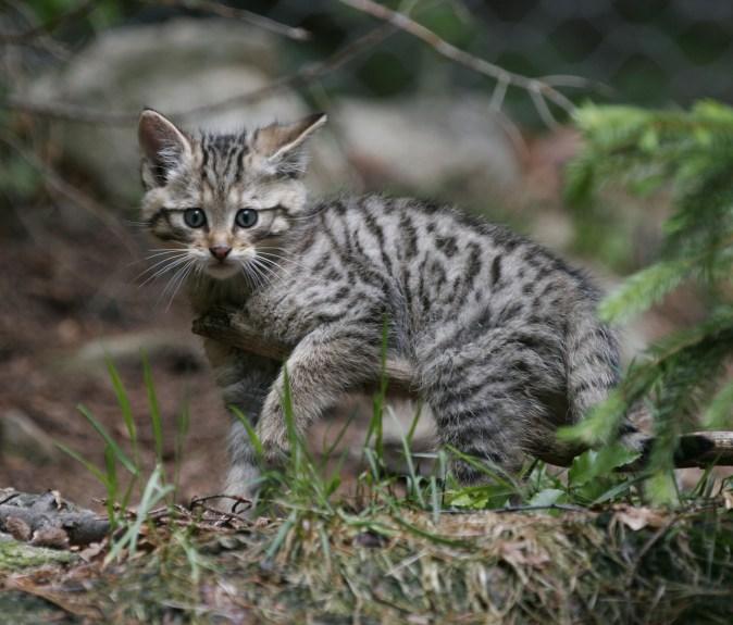 Junge Europäische Wildkatze ©G. Pauluhn/Piclease