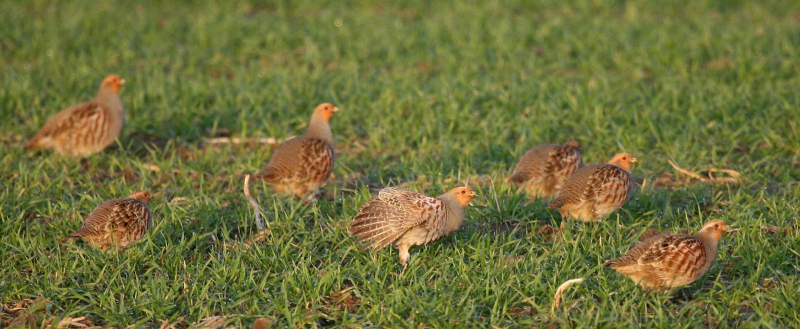 Rebhühner ©A. Brillen/piclease